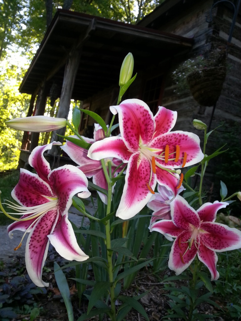 Stargazer Lillies in Bloom